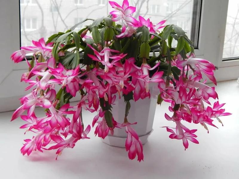 Цветок декабрист: описание, уход и энергетика для дома