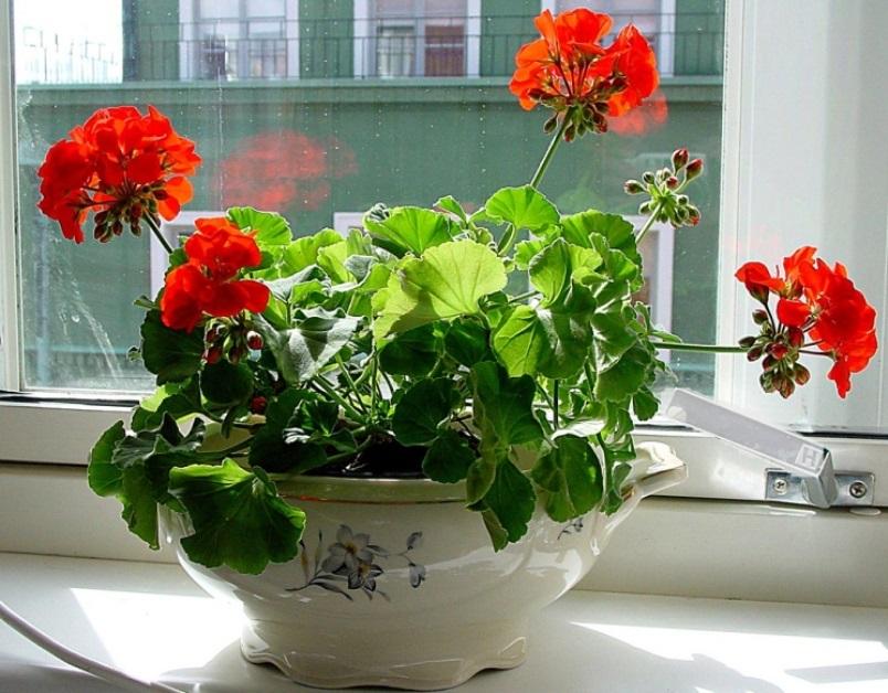 Цветок Герань – приметы с ней связанные
