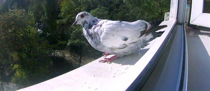 Голубь на балконе – примета