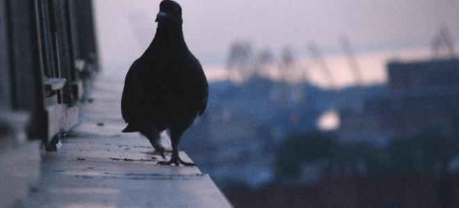 Примета голубь прилетел сел на подоконник – к чему бы это
