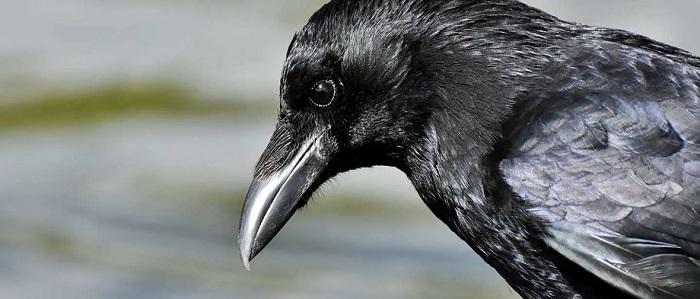 Приметы про ворон – о чем предупреждают пернатые