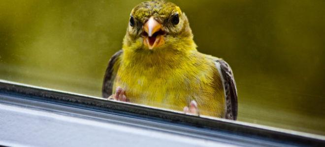 Птица ударилась в окно – к чему это?